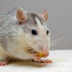 geur dode rat schadelijk